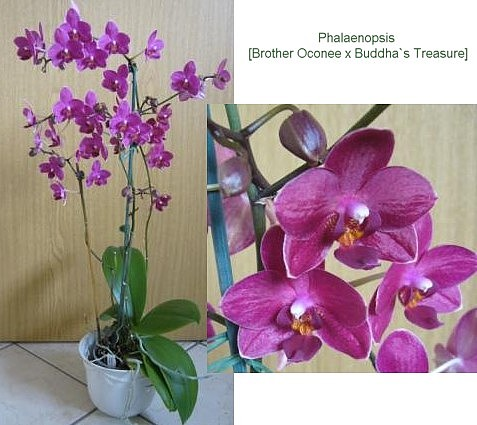 Phalaenopsis (Brother Oconee x Buddhas Treasure)