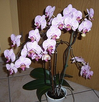 Phalaenopsis Malibu I