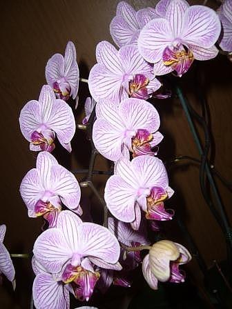 Phalaenopsis Malibu II