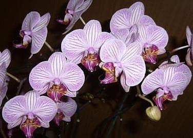 Phalaenopsis Malibu III