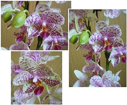Phalaenopsis ???